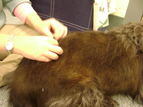 Chester gets acupuncture